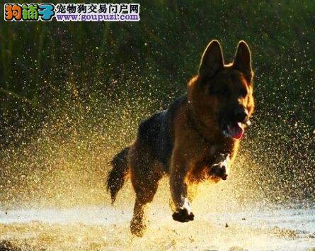 出售宠物狗 纯种德牧 保健康 专业养殖 信誉可靠