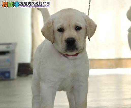 厦门犬舍出售纯种粗骨架拉布拉多幼犬 签定售后协议书