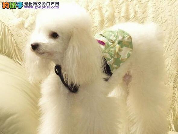 重庆哪里买贵宾犬,重庆哪里卖贵宾犬,贵宾犬的价格