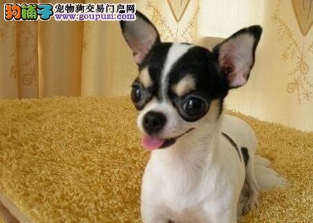 重庆哪里有卖纯种吉娃娃犬 墨西哥吉娃娃重庆哪里有卖
