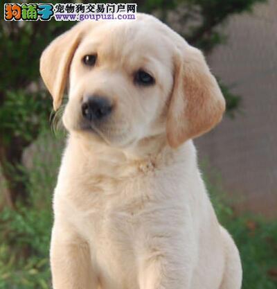 转让大骨架大头版的台州拉布拉多犬 我们承诺售后三包