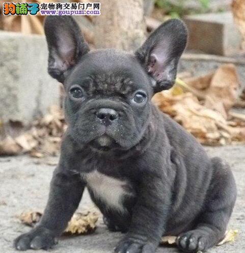 颜色全品相佳的法国斗牛犬纯种宝宝热卖中签署各项质保合同