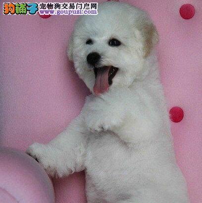 郑州信誉犬舍自繁自育自销高品质卷毛比熊犬 有证书