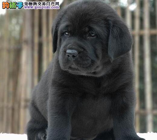重庆有偿转让拉布拉多犬 重庆猎犬拉拉重庆大型犬