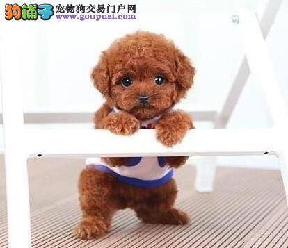 纯种赛级泰迪犬、实物拍摄直接视频、提供养护指导