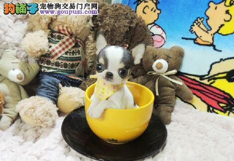 深圳哪里有卖小体吉娃娃,出售赛级小型犬吉娃娃