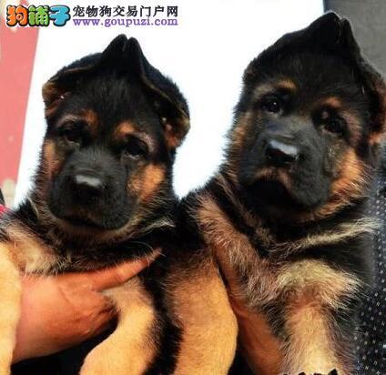 西安狗场出售大头锤系德国牧羊犬 保证绝对健康