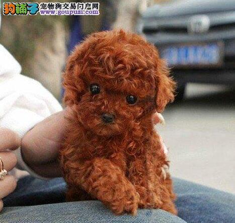 贵阳正规养殖基地出售巨型贵宾犬 多只幼犬供您选购