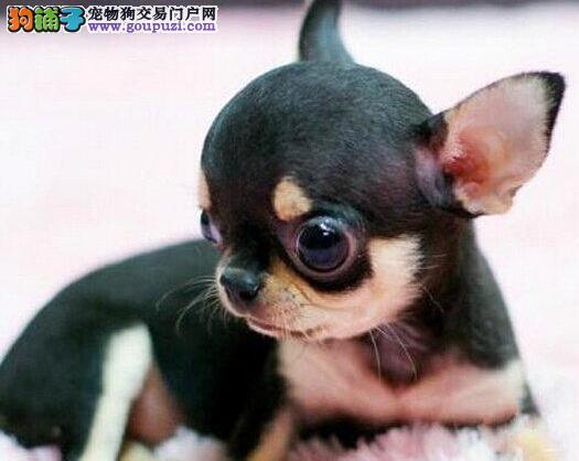 上海家养吉娃娃促销大眼睛苹果头疫苗已做齐