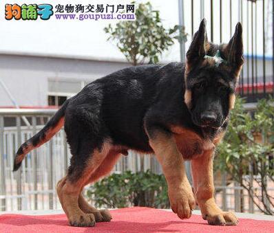 犬舍直销品种纯正健康天津德国牧羊犬期待来电咨询