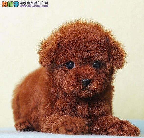 佛山超级可爱的泰迪犬直销中 可以签订成长协议