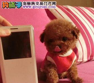 多种颜色的赛级泰迪犬幼犬寻找主人保证品质完美售后