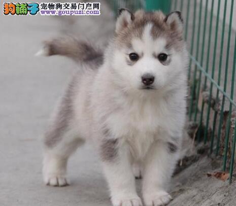 出售自家繁殖的桂林哈士奇幼犬 公母均有多只任君选购
