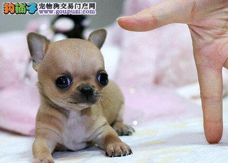 纯种吉娃娃犬价格多少吉娃娃幼犬价钱苹果头吉娃娃犬