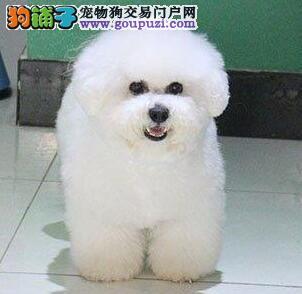 出售比熊幼犬品质好有保障包养活送用品