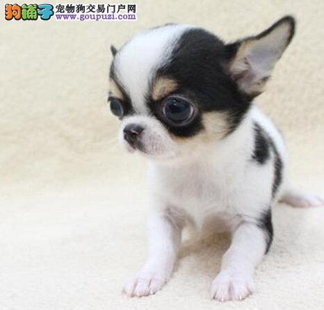 权威机构认证犬舍 专业培育吉娃娃幼犬三针疫苗齐全