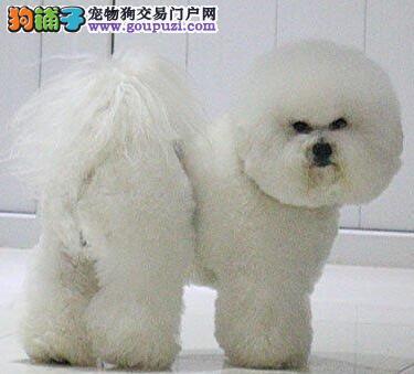 转让纯种卷毛比熊犬 可来福州犬舍当面看狗价格优惠