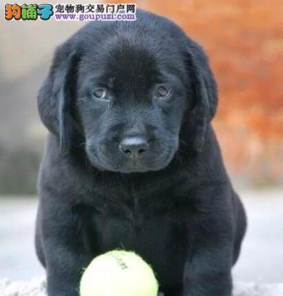 佛山正规养殖基地售纯种健康的拉布拉多犬 狗贩子勿扰