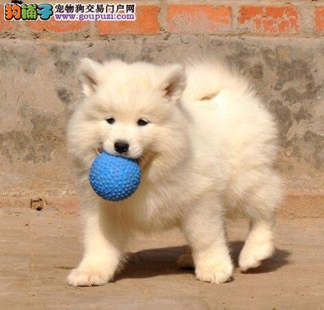 家养赛级萨摩耶宝宝品质纯正赠送全套宠物用品