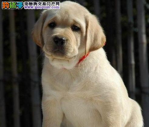 养殖场直销血统纯正海口拉布拉多犬品相好可见父母