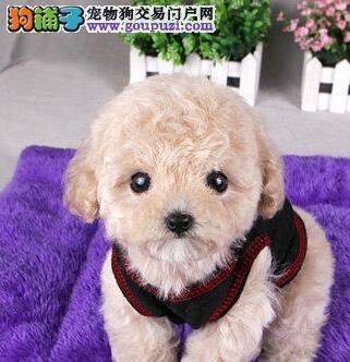 重庆热销精品韩国小体聪明可爱的贵宾犬 颜色齐全