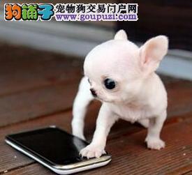 顶级纯血统的太原吉娃娃幼犬找新家 保证完美售后
