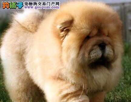 极品松狮幼犬纯种品相俱佳紫舌肉纯特征明显