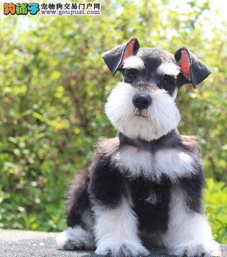 专业犬舍转让品质好的上海雪纳瑞颜色多只老头版