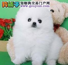 出售博美犬幼犬品质好有保障诚信信誉为本