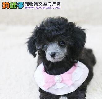 优惠促销名贵血统贵宾犬海口市区购犬可送用品