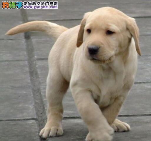 养殖场直销纯种银川拉布拉多犬疫苗齐全签协议