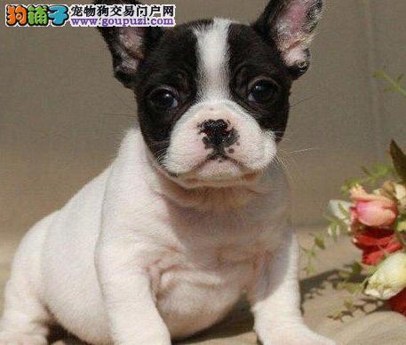 权威机构认证犬舍 专业培育法国斗牛犬幼犬欢迎您的光临