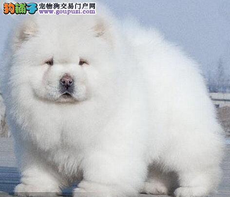 广州松狮出售 随时微信看狗上门选狗 当面签协议