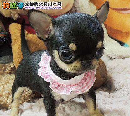 火爆出售血统纯正的北京吉娃娃喜欢微信咨询