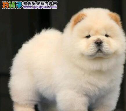 大嘴紫舌南京松狮犬预售 支持全国空运发货质量有三包