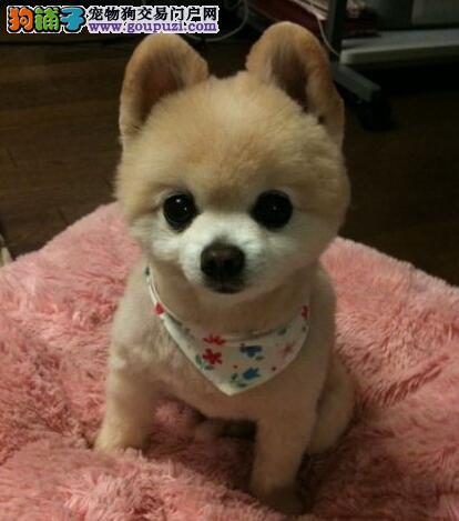 绵阳纯种哈多利博美幼犬 娇小体型可爱聪明