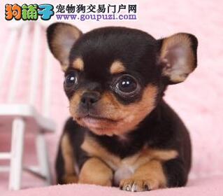 纯种吉娃娃出售中。多只幼犬多种颜色