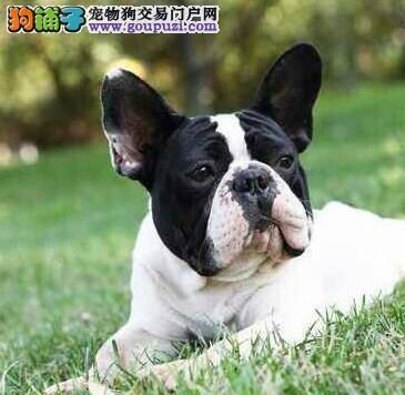 首选品牌西安犬舍出售赛级法国斗牛犬 签协议送用品