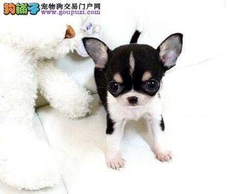 可爱吉娃娃纯种吉娃娃幼犬犬舍直销可上门挑选