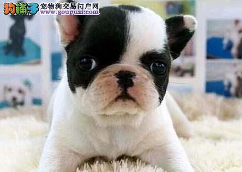 """台湾引进国际""""""""种犬 大头版宽嘴法牛宝宝 可爱憨萌"""