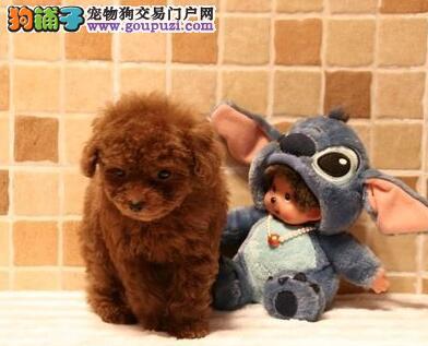 南京家养泰迪犬热销中多种颜色包养活保健康