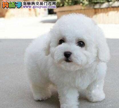 正规实体店优惠促销南京比熊犬棉花糖超可爱