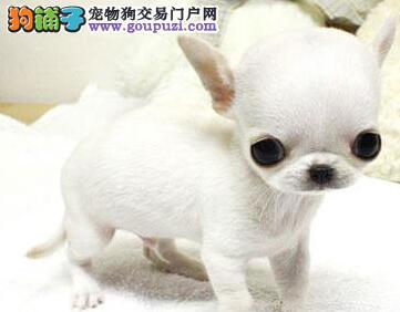 纯种大眼睛苹果头吉娃娃幼犬漂亮可爱包健康
