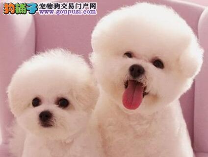 CKU认证犬舍出售高品质比熊微信咨询看狗狗视频