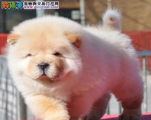 多种颜色的赛级松狮幼犬寻找主人国际血统证书