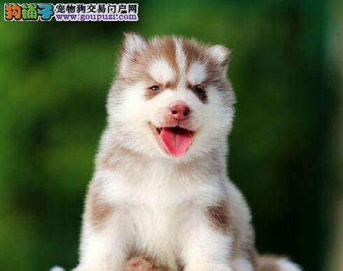 热销多只优秀的纯种哈士奇幼犬签订三包合同