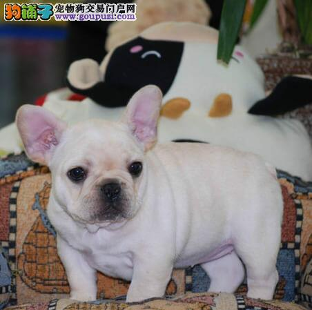 CKU犬舍认证琼海出售纯种法国斗牛犬一宠一证视频挑选