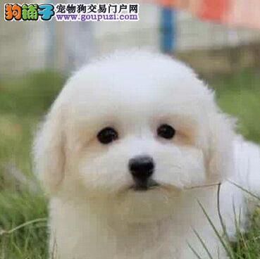 出售超高品质卷毛南京比熊宝宝 欢迎大家上门挑选