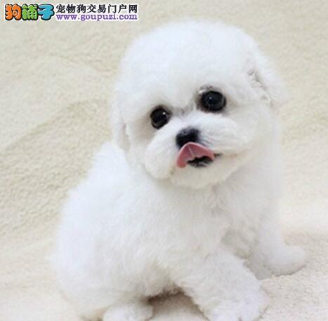郑州自家一窝可爱卷毛比熊犬出售 娃娃头大眼睛 雪白色
