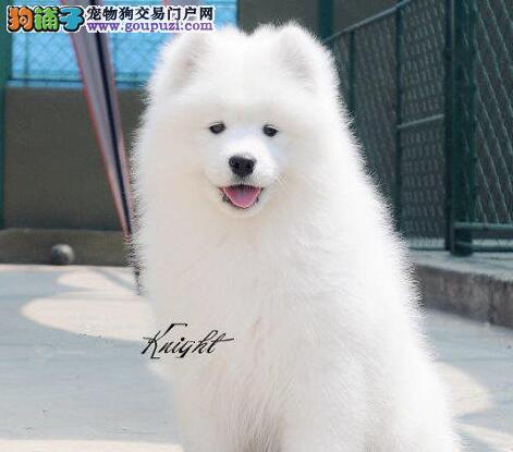 贵阳大型养殖基地出售雪白色萨摩耶幼犬 超大毛量